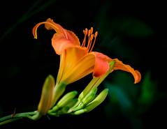 Lily, orange (vern Ri) Tags: lily orange fleur flower flora fiori bloom blumen fuji