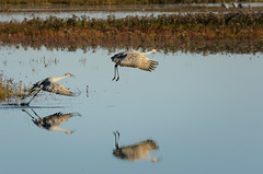 Sandhill Crane Take Off-3122.jpg (Mully410 * Images) Tags: burnettcounty birdwatching birding crexmeadowsstatewildlifearea sandhillcranes bird crexmeadows wisconsin birds flying d7000 nikon reflection birdsinflight flight