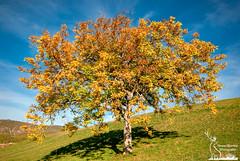 Color istogram on a Walnut Tree (simone_aramini) Tags: nature naturallight nikon nationalgeografic ngc natura colour colori campagna lavalnerina landscape landscapes paesaggi sky autunno appennini autumn