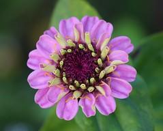Zinnia (LuckyMeyer) Tags: flower fleur blume blüte garden summer lila violett green makro
