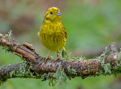 DSC9675  Yellowhammer.. (jefflack Wildlife&Nature) Tags: yellowhammer yammer birds avian animal wildlife wildbirds woodlands hedgerows farmland finch finches countryside songbirds nature