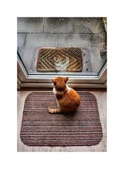 Think I'll stay in today (CJS*64) Tags: inside stayingin badweather cat feline ivy orangecat gingercat nikon nikon1 nikonj5 j5 mirrorlesscamera mirrorless cjs64 craigsunter cjs 1030mm13556vrlens animal pet