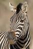 Cebra (ik_kil) Tags: zebra equusburchellii burchellszebra plainszebra equusquagga equusquaggaburchellii iucnnearthreatened krugernationalpark mammal southafrica