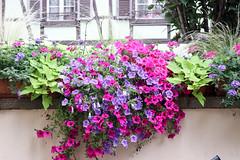 Vacances_0235 (Joanbrebo) Tags: ribeauville grandest francia fr alsace hautrhin cityscape flors flores flowers fleur fiori blumen blossom canoneos80d eosd efs1855mmf3556isstm autofocus