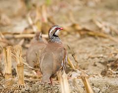 pernice rossa1 (delbio79) Tags: pernice uccello animale colore becco campo canne terra piume girata