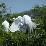 Great Egrets on nest. Ardea alba thumbnail
