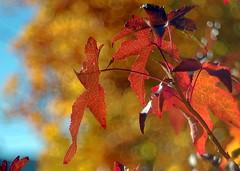 Hojas de arce (joseange) Tags: meyeroptik trioplan otoño arces color bosque bokeh
