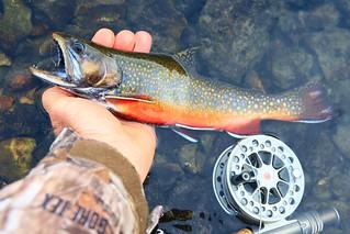 brook trout male in Winneshiek Co. IA 854A2311