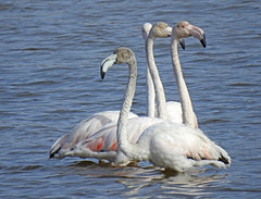 Flamingo (Phoenicopterus roseus) (Marina CRibeiro) Tags: portugal alcocheteribeiradasenguias flamingo phoenicopteriformes