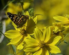 Butterfly_SAF4278-1 (sara97) Tags: missouri nature outdoors photobysaraannefinke saintlouis towergrovepark wildflowers yellow butterfly insect pollinator copyright©2017saraannefinke