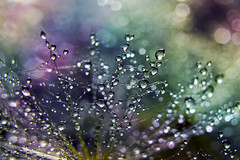 Falling Dew (kevin_art) Tags: dew droplet droplets morning macro canon
