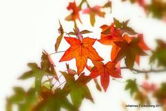 Colors (grafenhans) Tags: sony alpha 68 alpha68 a68 tamron 5663200400 autumn herbst farben color laub blatt bokeh grafenwald bottrop nrw natur gegenlicht