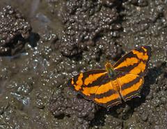 Common Jester (mishko2007) Tags: symbrenthialilaea chiangmai 105mmf28