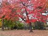 Autumn (siew_wei) Tags: saveearth maple hokkaido travel japan autumn nature trees