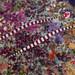 Ringed Pipefish, pair - Dunckerocampus dactyliophorus