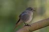 DSC_8616 (f_foschi.) Tags: passerotto littlesparrow bird nikon d500 francesco foschi nature