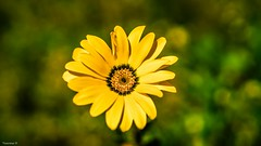 Flora -3885 (YᗩSᗰIᘉᗴ HᗴᘉS +10 000 000 thx❀) Tags: flora flower yellow season autumn jaune fleur macro green vert nature hensyasmine