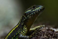 Liolaemus pictus (C.hess-fg) Tags: lagartija liolaemus pictus lizard chile wild outdoor nikond5200 nikon naturaleza nature natgeo wildlife natgeowild