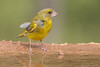 Verdier d'Europe (DorianHunt) Tags: birds bokeh greenfinch july 2017 spain sigma 150600mm nikond500 wwwphotologisticscom