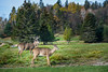 Parc Omega : October 22, 2017 (jpeltzer) Tags: ottawa parcomega quebec fall autumn fallcolours wildlife deer