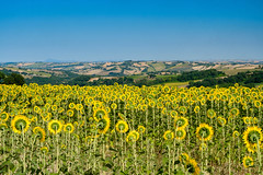 Summer landscape in Marches near Fossombrone (clodio61) Tags: europe fossombrone italy jesi marche marches pesaro santippolito urbino agriculture calanques color country day field flower green hill land landscape nature olive outdoor photography plant rural scenic summer sunflower sunny tree