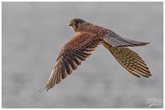 Kestrel (Male) (deannno) Tags: kestrel kestrelhovering kestrelinflight raptor birdofprey canon canon7dmk2 sigma150500mmf563apodgoshsm sigma capecornwall cornwall uk