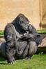 l'incertitude (musette thierry) Tags: musette thierry d600 reflex nikon animal gorille pairidaiza parc jardin moment instatanée jeux role