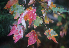 DSC07023 (Old Lenses New Camera) Tags: sony a7r kodak ektar anastigmatektar bantamspecial 45mm f2 plants garden autumn tree leaves branches