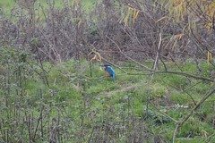 Common kingfisher (James L Taylor) Tags: attenborough nature centre reserve 31117 common kingfisher alcedo atthis from sand martin hide