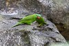 Scaly-breasted Lorikeet (thefuton) Tags: sydney tarongazoo newsouthwales
