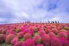国営ひたち海浜公園 赤いコキア (丸子呆) Tags: コキア 国営ひたち海浜公園 茨城 赤い 日本