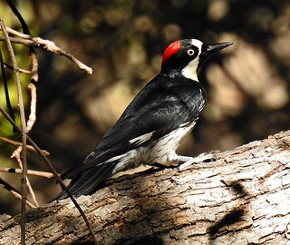 Acorn Woodpecker-102317-