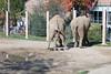Elephant pooping & peeing (Ionut Ana) Tags: elephant zoo poop peeing fun clevelandmetroparkszoo