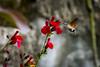 Hummingbird Hawk Moth (cliveg004) Tags: hummingbirdhawkmoth insect flowers garden france ardeche nikon d5200 red speed hum wildlife macroglossumstellatarum