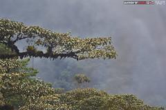 Cloud Forest (punkbirdr) Tags: api audy birds birding d7100 nikkor24mmf28af ecuador punkbirdrphoto
