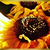 The last sunflowers. #takoma #dc #dclife #washingtondc #iPhone365 #iPhone7plus #iPhone #iPhonemacro #macro  #flower #flowersofinstagram (Kindle Girl) Tags: iphone takoma dc dclife washingtondc iphone365 iphone7plus iphonemacro macro flower flowersofinstagram