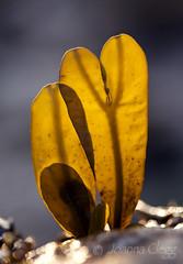 Young shoots (jo clegg) Tags: seaweed abstract nature algae brown yellow fucus vesiculosus bladderwrack cornwall coastal marine intertidal