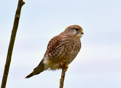 Kestrel - Taken at Titchmarsh Nature Reserve, Aldwincle, Northants. UK (Ian J Hicks) Tags: