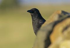 Carrion Crow (Dave Brotherton Wildlife Photography) Tags: corvids crow closeup wildlife nikon nature avian bokeh birds bird tamron tamron150600 davebrothertonphotography outabout