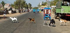 Goats Crossing (LeftCoastKenny) Tags: morondava goats pedestrians rickshaws street truck shops houses day2 madagascar