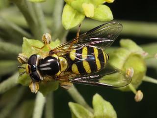 Dasysyrphus albostriatus f