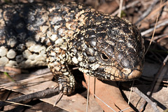 Shingleback lizard (mark.photos) Tags: victoria australia wild grampiansnationalpark