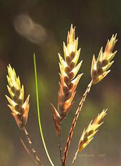 Virgo's LIGHT - Sheaves of Wisdom- MM - Theme-Zodiac (LOVE.OVER.LUST.) Tags: mm macromondays zodiac virgo grass seeds seedpods harvest symbolism backlit backlight weed symbolic nature bokeh astrology signs