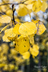 Closup of changing aspen leaves