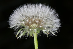 Dandelion seed head (Jenny Thynne - trying to catch up once again) Tags: dandelion seeds plant taraxacumofficinale seedhead