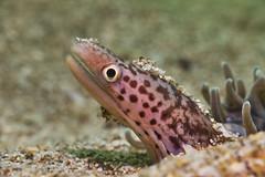 Richardson's Moray Eel - Sep 1 (Gomen S) Tags: animal wildlife nature macro cmc nauticam sony rx100v underwater diving ocean sea hongkong hk china asia tropical 2017 autumn afternoon fish