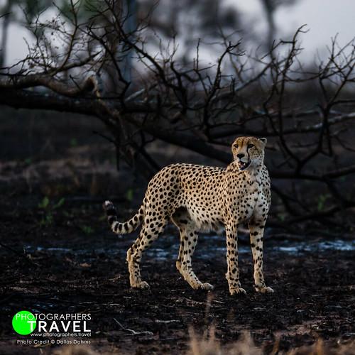 Cheetah - Sabi Sabi 2010