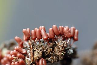 Viinikorunen - Arcyria denudata - Slime mold