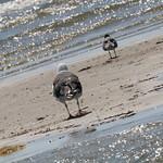 Sandbar gulls thumbnail