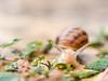Slowly (jocsdellum) Tags: slowly lentamente lento slow snail cargol caracol tranquil softfocus suave suau herba hierba grass